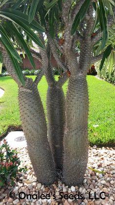 Image 2 of Madagascar Palm, Pachypodium lamerei, Succulent, Cactus seeds Tropical, blooming Cacti And Succulents, Planting Succulents, Cactus Plants, Tropical Garden, Tropical Plants, Plants Around Pool, Yucca Rostrata, Garden Bed Layout, Cactus Seeds