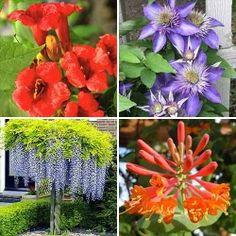 Super ofertă! Plante ornamentale Mireasma zorilor, set de 4 soiuri | Most often bought GradinaMax