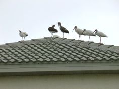 Large groups of ibis are often seen perched roofs