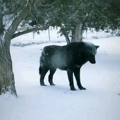 Animals Discover Beautiful Black wolf in snow - Tiere - Dogs Cute Funny Animals Cute Baby Animals Animals And Pets Cute Dogs Anime Animals Nature Animals Big Dogs Beautiful Creatures Animals Beautiful Cute Funny Animals, Cute Baby Animals, Cute Dogs, Big Dogs, Nature Animals, Animals And Pets, Anime Animals, Nature Nature, Wild Animals