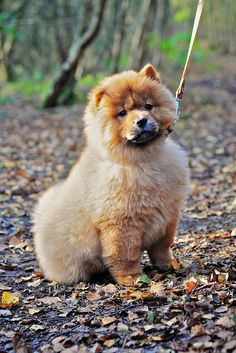 Cyoot Puppy ob teh Day: Floofy Chow Chow - Funny pictures and memes of dogs doing and implying things. If you thought you couldn't possible love dogs anymore, this might prove you wrong. Fluffy Animals, Baby Animals, Cute Animals, Lion Dog, Dog Cat, Three Dog Night, Chow Chow Dogs, Dog Pictures, Funny Pictures