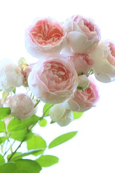 #Rosierblanc #PierredeRonsard #Rosierbicolore #Parfum #Rose #Eden #Edenclimber #Romantique #Deco #Jardin #Bouquet Plantation, Real Flowers, Flower Tattoos, Parfum Rose, Bouquet, Paper Crafts, Outre, Leonardo Dicaprio, Quilling