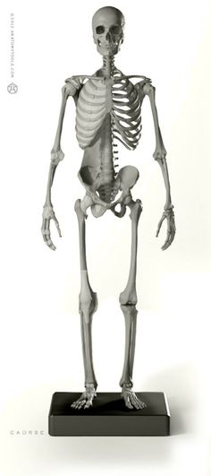 """Male Skeleton figure: v.2   - professional artist model   1:6 life-size, yet incredibly detailed, this desktop model shows the bones & principal ligaments of the human body. Ideal for reference, teaching or study, is the exact skeleton for the proportional & anatomy male . Aprox. 11.75""""H x 2""""D x 3.5""""W"""