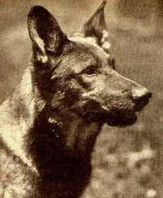 This is the original Rintintin - photo from 1926