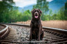 Hündin 6 Jahre Labrador Retriever, Dogs, Animals, Pet Dogs, Labrador Retrievers, Animales, Animaux, Doggies, Labrador