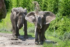 African bush elephant | African Bush Elephant