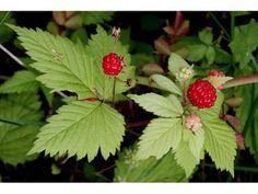 Rubus pubescens (Dwarf red blackberry)