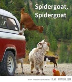 Does whatever a spider can  Spins a web, any size,  Catches thieves just like flies  Look Out!  Here comes the Spidergoat.