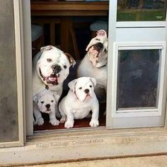 "2,429 Likes, 44 Comments - Baggy Bulldogs (@baggy.bulldogs) on Instagram: ""Bulldog Family Welcome """
