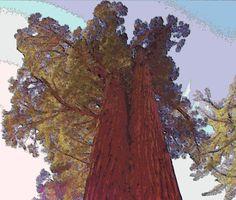 Sequoia trees in Yosemite's Mariposa Grove (Oct 2014).