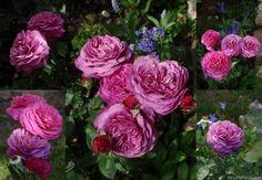 'Heidi Klum Rose ' Rose Photo