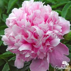 Paeonia Elizabeth, Queen of the Belgians ... A lovely scented peony, viorous and free flowering  Graefswinning