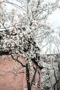 Cherry Blossoms in full bloom in the West Village, New York City.