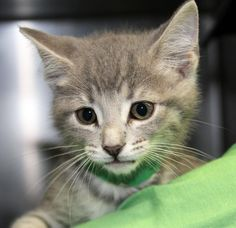 Meet Peach, a Petfinder adoptable Domestic Short Hair Cat   Saint Joseph, MO   #33337 MARIO is a 2 month old, 2.75 lb silver domestic short hair kitten came to our shelter as a...