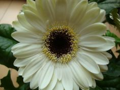 Gerbera daisy. My absolute fav!