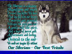 ❤Our Siberians, Our Best Friends!️