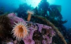 Franz Josef Land's rocky reefs are covered by a thick kelp canopy, below which anemones grow like underwater flowers. Underwater Flowers, Save Our Oceans, Become A Photographer, National Geographic, Anemones, Eye Candy, How To Become, Waves, Canopy