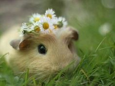 Guinea Pig. I should do this with Lola