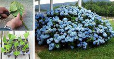 Grădinărit Archives - Perfect Ask Rooting Hydrangea Cuttings, Nassau, Flower Power, Blueberry, Garden Design, Pergola, Flora, Herbs, Fruit