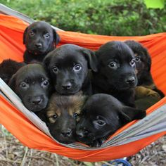 A bundle of puppies in a hammock - Cute Puppies - French Bulldog's Life Top Funny, Animal Rescue Shelters, Hammock, Pet Adoption, Cute Puppies, Pugs, Cute Pictures, French Bulldog, Labrador Retriever