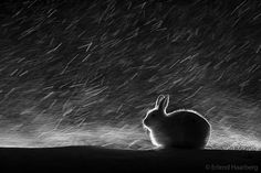 Wild bunny can withstand harsh Norwegian weather - May 15, 2017