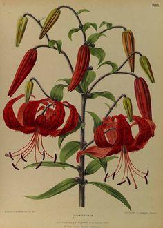 165389 Lilium lancifolium Thunb. [as Lilium tigrinum Ker Gawl.]  / Eeden, A.C. van, Album van Eeden, Haarlem's flora, afbeeldingen in kleurendruk van verschillende bol- en knolgewassen, p. 16, t. 23 (1872-1881)