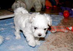 Adorable Paws / B-Wurf Malteser Welpe, 31.12.2014, 6 Wochen alt, Züchter Daniela Krüger