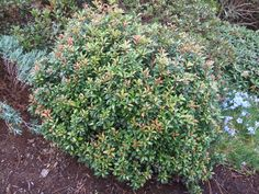 Pieris japonica 'Bisbee Dwarf' (Japanese Andromeda) Pieris Japonica, Deer Resistant Plants, Variegated Plants, Hardy Plants, Japanese Maple, Trees And Shrubs, Dwarf, Native Plants, Perennials