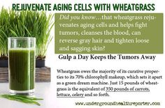 Wheatgrass...more informative links here: http://pinterest.com/alexca/sprouting-high-energy-superfoods/