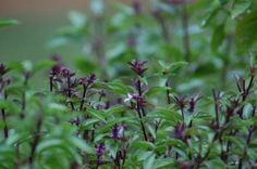 With their lovely purple veined leaves on a shiny, lush dark green background sprouting off purple stems, Thai basil plants are grown for their culinary and ornamental qualities. Edible Plants, Edible Garden, Nail Swag, Thai Basil Plant, Dark Green Background, Growing Herbs, Basil Growing, Growing Vegetables, Basil Leaves