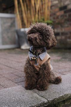 70 Best Poodledcom Images In 2019 All Small Dog Breeds