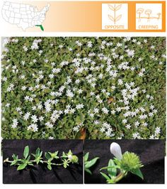 Large Flower Mexican Clover | Richardia grandiflora | Targeflower Pusley