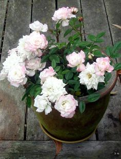 Miniature roses make great potted plants for a patio or terrace.