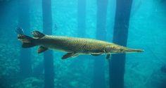 Alligator Gar Fishing in Texas Temporarily Suspended