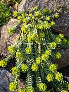 Eurphorbia myrsinites