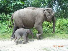 A female elephant calf has been born to the elephant Flying Squad in Indonesia's Tesso Nilo National Park.