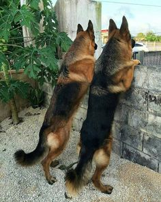 Wicked Training Your German Shepherd Dog Ideas. Mind Blowing Training Your German Shepherd Dog Ideas. German Sheperd Dogs, German Shepherd Pictures, German Shepherds, Shepherd Dogs, Rottweiler, Dog Activities, West Highland Terrier, Working Dogs, Beautiful Dogs