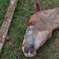 G.A.R.R.A. - Grupo de Ação, Resgate e Reabilitação Animal: Cavalo ferido em Guaratiba