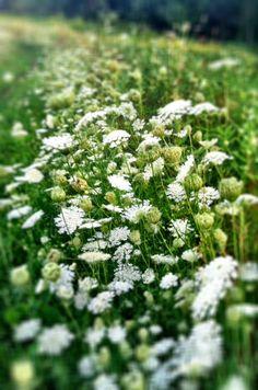 Late summer Queen Anne's Lace, Rock Meadow, Belmont, MA