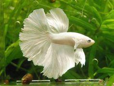 white betta <3