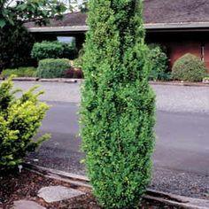 1000 images about evergreen on pinterest heuchera for Low maintenance evergreen shrubs