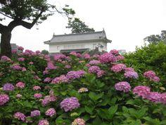 The Akaganemon gate of Odawara Castle And  a hydrangea