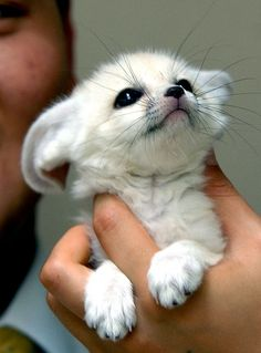 Cute!! The Fennec Fox or Fennec is a small nocturnal fox found in the Sahara of North Africa. Its most distinctive feature is its unusually large ears, which serve to dissipate heat.