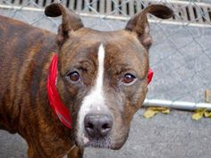 TO BE DESTROYED - WEDNESDAY - 11/19/14  Manhattan Center  My name is THEODOSIS. My Animal ID # is A1020703. i am a female brown and white pit bull mix. The shelter thinks I am about 4 YEARS old.  I came in the shelter as a STRAY on 11/14/2014 from NY 10303, owner surrender reason stated was STRAY.