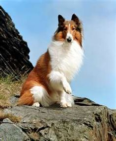 LASSIE - probably the most famous canine in history.