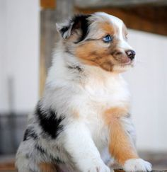 I neeedddd a Mini Aussie Shep, it's not a want, it's a need