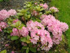 Kelloalppiruusu 'Suvi' - Rhododendron williamsianum