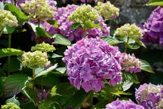 Hydrangea Care and Maintenance (Tips for Growing Indoor and Outdoor) - The Practical Planter Jade Plants, Plants, Hydrangea Care, Daffodils Planting, Lenten Rose, Amazing Flowers, Plants Poisonous To Dogs, Flowers, Wisteria Plant