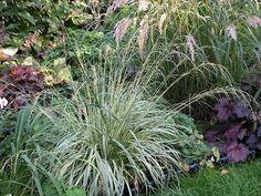 Molinia caerulea 'Variegata' eine zierliche panaschierte Sorte die übergeneigt wächst