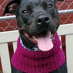 Pictures of Zola *URGT* IMMED FOSTER NEEDED* a American Pit Bull Terrier for adoption in Staten Island, NY who needs a loving home.